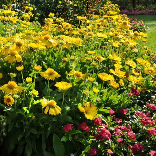 Gaillardia Mesa Yellow F1 2010 AAS Flower Award Winner The first F1 gaillardia from seed delivers a more uniform plant with more flowers than other varieties.