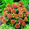 Gaillardia Sundance Bicolor - 2003 AAS Bedding Plant Winner The first consistent mahogany red and yellow bi-color gaillardia flower.