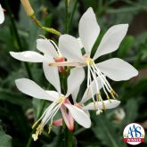 Gaura Sparkle White 2014 AAS Bedding Plant Award Winner Sparkle White gaura will bring a touch of airy elegance to the garden with its long slender stems sporting a large number of dainty white flowers tinged with a pink blush.