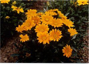 Gazania Mini-Star Tangerine