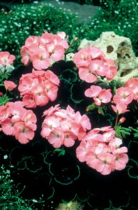 Geranium Black Velvet Rose F1 - 2002 AAS Bedding Plant Winner - The unusual bicolor leaf pattern distinguishes Black Velvet Rose from all other hybrid geraniums.