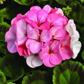 Geranium Pinto Premium White to Rose F1 2013 AAS Bedding Plant Winner This addition to the Pinto Premium series is a must-have!