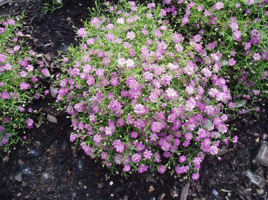 Gypsophila Gypsy Deep Rose- 2004 AAS Bedding Plant Winner - Gypsy Deep Rose is an annual G. muralis with dainty, rose-like blooms.