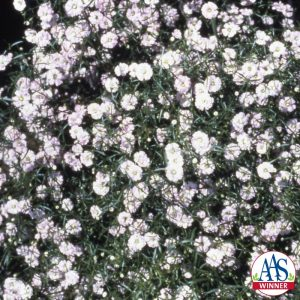 Gypsophila Gypsy- 1997 AAS Flower Winner - Dwarf plant, only 10 to 14 inches tall but spreading 10 to 12 inches in the garden.