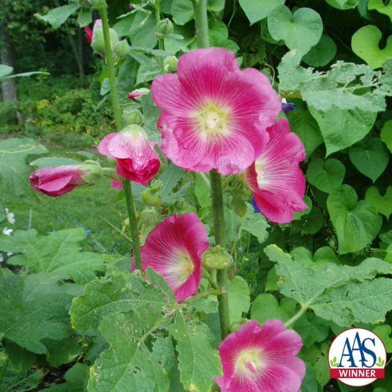 Hollyhock Indian Spring All America Selections