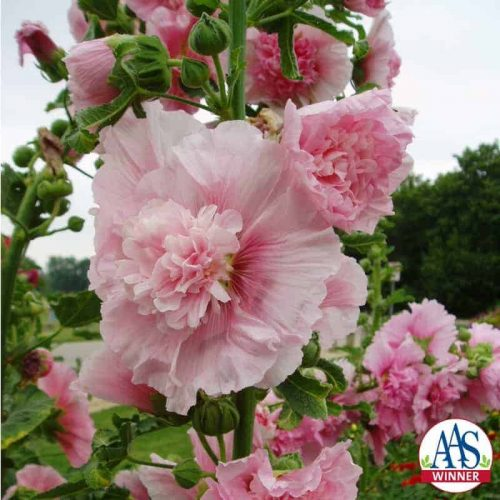 Hollyhock Summer Carnival - AAS Winner