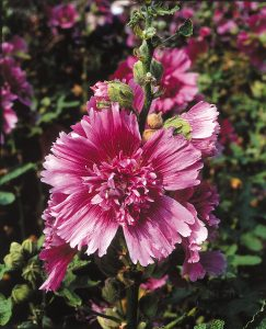 Hollyhock Queeny Purple - 2004 AAS Flower Winner - Queeny Purple is the shortest Alcea rosea and the first purple hollyhock available as a single color not part of a mixture.