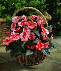 Impatiens New Guinea Florific™ Sweet Orange F1 2014 AAS Bedding Plant Award Winner Florific™ Sweet Orange New Guinea Impatiens is perfect for brightening gardens or patio containers in partial to full shade.