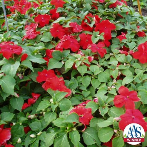 Impatiens Blitz orange-scarlet