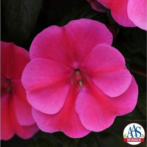 Impatiens Bounce Pink Flame looks like an Impatiens walleriana in habit, flower form and count, but is completely downy mildew resistant, which means this impatiens will last from spring all the way through fall.