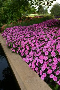Impatiens Bounce Pink Flame - Bounce looks like an Impatiens walleriana in habit, flower form and count, but is completely downy mildew resistant, which means this impatiens will last from spring all the way through fall.