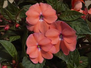 Impatiens SunPatiens Vigorous Shell Pink - The truly unique genetic background of SunPatiens® Vigorous Shell Pink delivers unsurpassed garden performance with season long, soft pink flowers that never slow down.