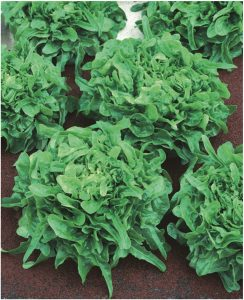 Lettuce Sandy - Sandy is an attractive oakleaf type lettuce with a multitude of sweet tasting frilly dark green leaves.