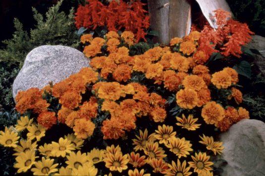 Marigold Bonanza Bolero -1999 AAS Bedding Plant Winner This marigold is distinct because of its irregular gold and red design.