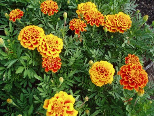 Marigold Golden Gate