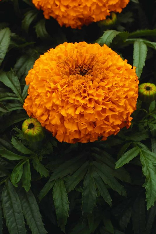Marigold Moonsong Deep Orange F1 2010 AAS Flower Award Winner This AAS Winner has vibrant deep orange flower color.
