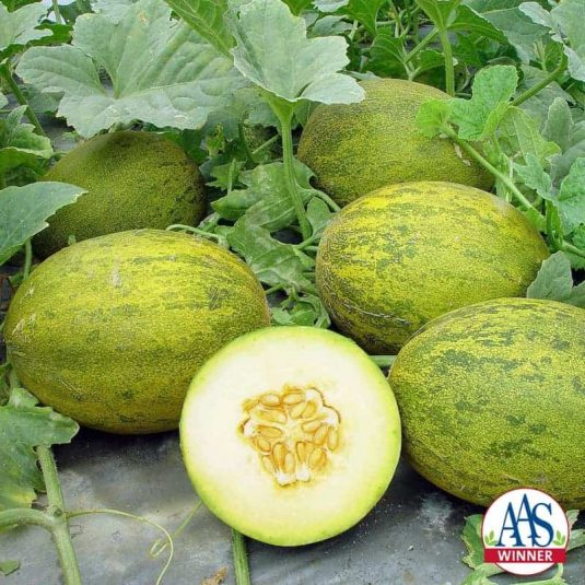 Melon Lambkin F1 - 2009 AAS Vegetable Award Winner 'Lambkin' is a gourmet melon that is early to mature and easy to grow in containers or garden soil.