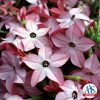 Nicotiana Avalon Bright Pink F1 - 2001 AAS Bedding Plant Winner - Avalon Bright Pink is an improved dwarf nicotiana that provides multitudes of star-shaped blooms throughout the growing season.