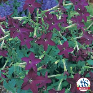 Nicotiana Perfume Deep Purple F1 - 2006 AAS Bedding Plant Winner -Perfume Deep Purple flowers are shaped like stars.