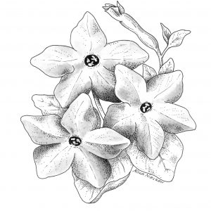 Nicotiana Perfume Deep Purple F1 - 2006 AAS Bedding Plant Winner -Perfume Deep Purple flowers are shaped like stars.
