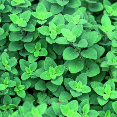 Oregano Cleopatra - Unique from Greek and Italian oreganos, Cleopatra has a mildly spicy, pepperminty flavor