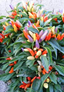 Ornamental Pepper NuMex Easter 2014 AAS Bedding Plant Award Winner NuMex Easter is a compact, well branched, uniform in size plant that displays small clusters of 4-6 fruits on top of the plant in a range from lavender to light yellow and when fully mature a light orange.