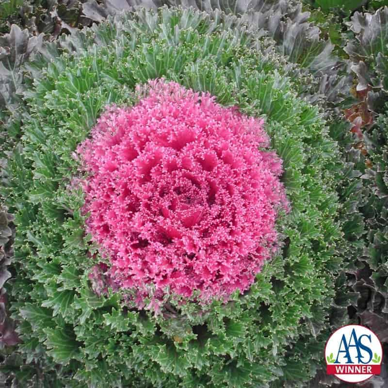 Ornamental Kale Glamour Red F1 All America Selections