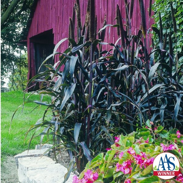 """Ornamental Millet Purple Majesty F1 - 2003 AAS Flower Winner - """"Tall, dark and handsome"""" describes this purple-leaved millet."""