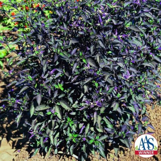 Ornamental Pepper Black Olive - 2012 AAS Flower Winner All season long this beauty kept its upright habit with nicely draping leaves and dark purple/black fruit which appeared in small clusters along the stems.
