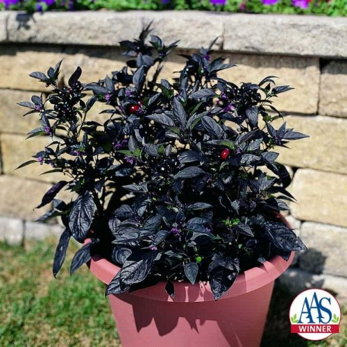 Ornamental Pepper Black Pearl 2006 - AAS Flower Winner - Black Pearl is a handsome plant with black foliage.