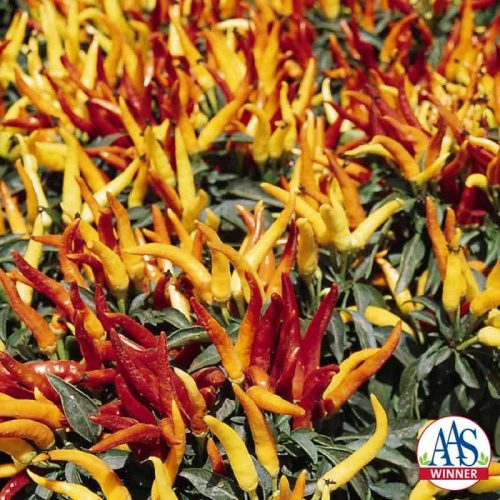 Ornamental Pepper Chilly Chili F1 - 2002 AAS Flower Winner - The first family-friendly ornamental pepper with exceptional garden performance.