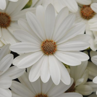 Osteospermum Akila® Daisy White F1 2014 AAS Bedding Plant Award Winner White osteospermums are not unique but a clear white osteo with a yellow center is a novelty, plus, it's easily grown from seed.