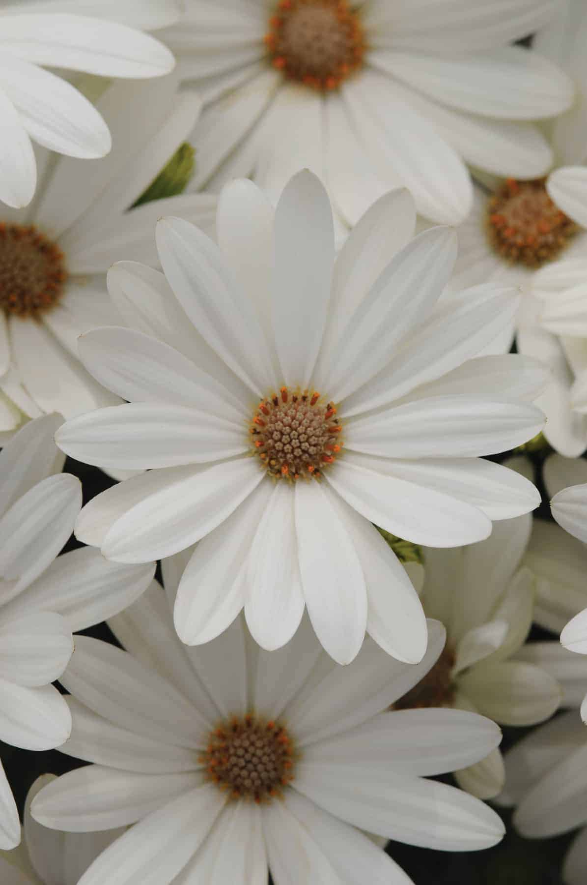 Osteospermum akila daisy white f1 all america selections osteospermum akila daisy white f1 2014 aas bedding plant award winner white osteospermums are not izmirmasajfo