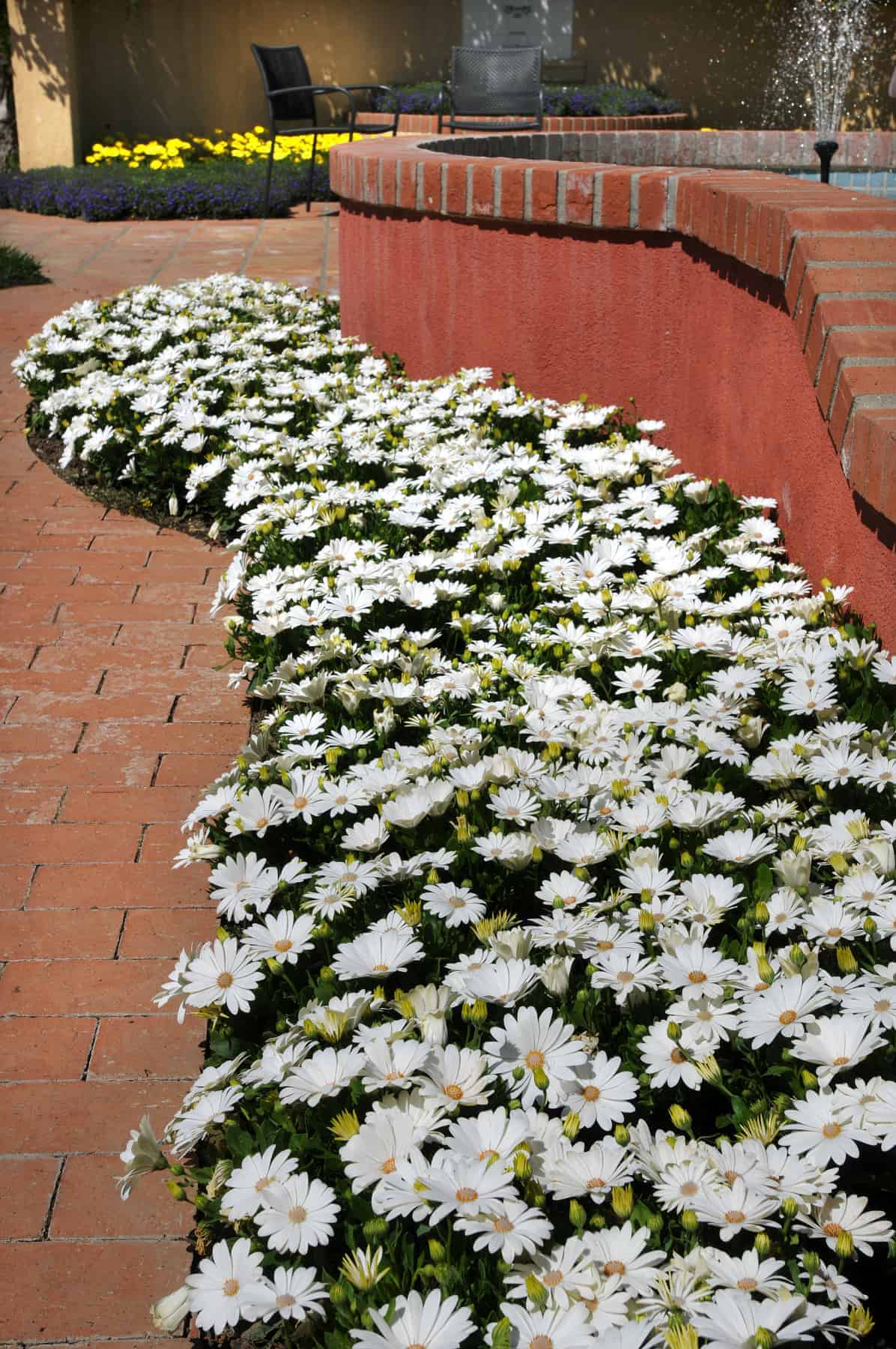 Osteospermum akila daisy white f1 all america selections osteospermum akila daisy white f1 2014 aas bedding plant award winner white osteospermums are not izmirmasajfo