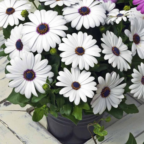 Osteospermum Asti White F1 2008 AAS Bedding Plant Award Winner Everybody loves white daisy flowers. 'Asti White' blooms are pure white with blue centers.