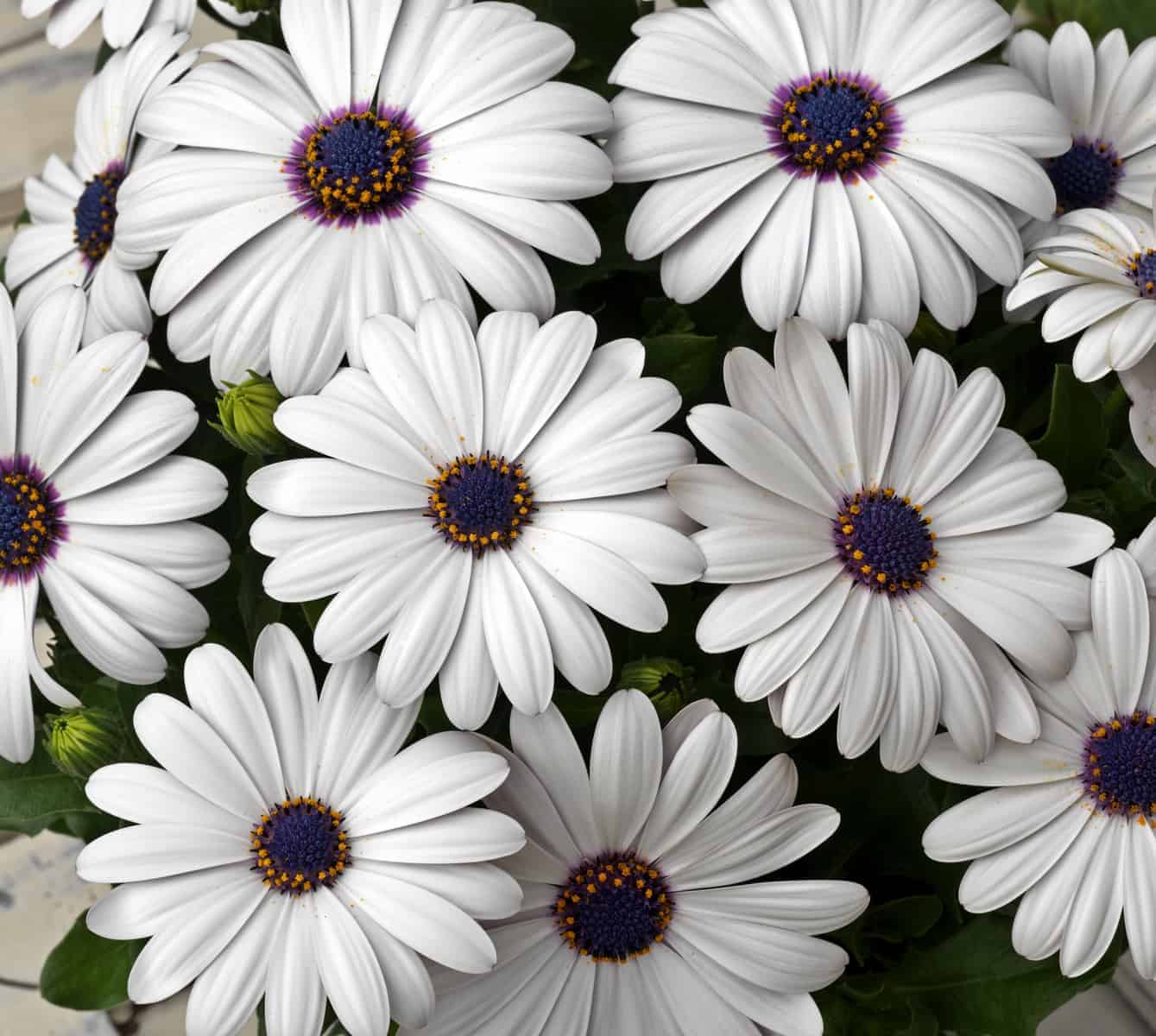 Osteospermum Asti White F1 All America Selections