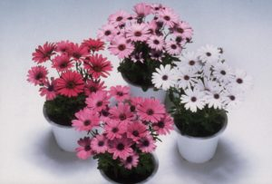 Osteospermum Passion Mix - 1999 AAS Bedding Plant Winner - Semi-cold tolerant annual grows best in full sun.
