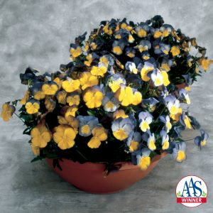 Pansy Ultima Morpho F1 - 2002 AAS Flower Winner This AAS Winner has a distinct bi-color design.