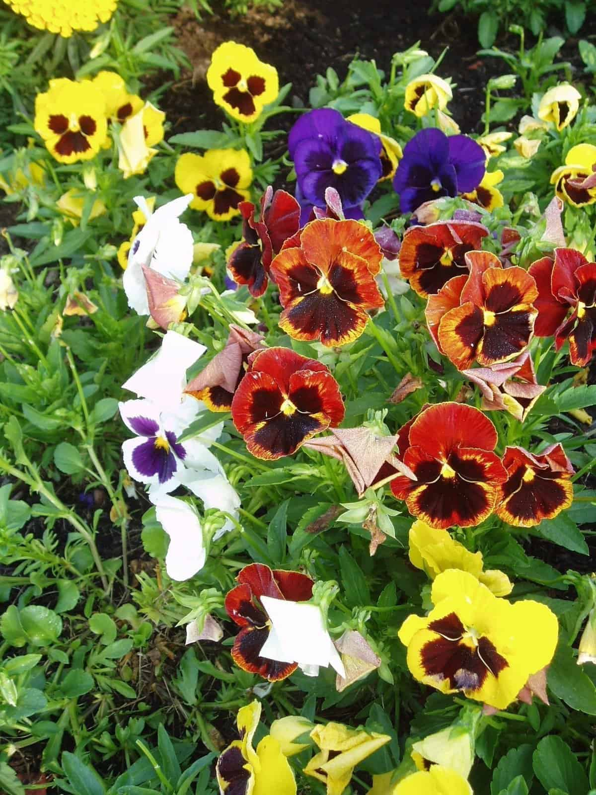 Pansy Majestic Giants Mix All America Selections