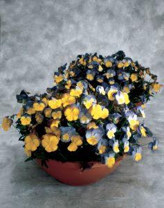 Pansy Ultima Morpho F1 - 2002 AAS Flower Winner This AAS Winner has a distinct bi-color design.