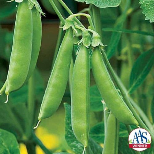 Pea Sugar Snap - A Gold Medal AAS WInner