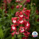 Penstemon Arabesque™ Red F1 2014 AAS Flower Award Winner Everything about Penstemon Arabesque™ Red F1 makes it essential for your garden!