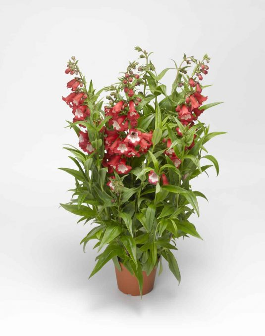 Penstemon Arabesque™ Red F1 2014 AAS Flower Award Winner Everything about Penstemon Arabesque™ Red F1 makes it essential for your garden