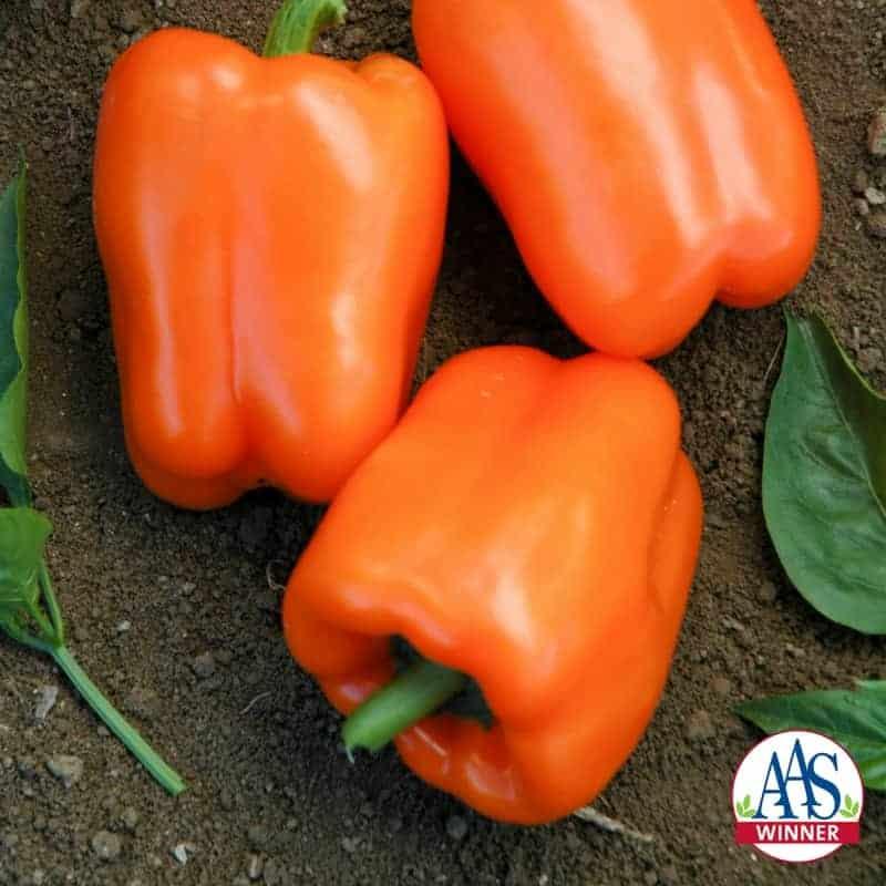 Pepper Orange Blaze 2011 AAS Edible - Vegetable Winner