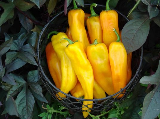Pepper Mama Mia Giallo F1 2014 AAS Vegetable Award Winner Very early maturing yellow sweet Italian pepper.