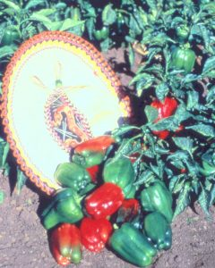 Pepper MexiBell F1