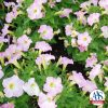 Petunia Fantasy Pink Morn F1 -1996 AAS Bedding Plant Winner