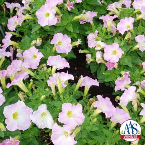 Petunia Fantasy Pink Morn F1 -1996 AAS Bedding Plant Winner