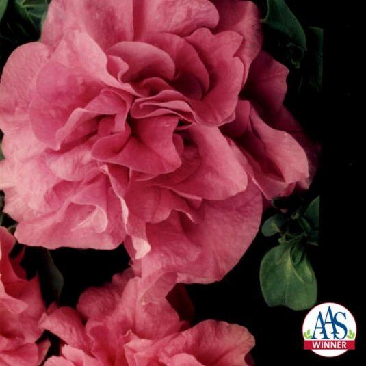 Petunia Heavenly Lavender F1 - 1996 AAS Bedding Plant Winner