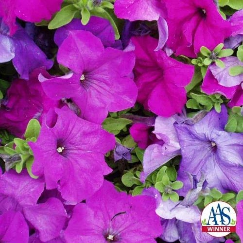 Petunia Limbo Violet F1 - 2004 AAS Bedding Plant Winner 'Limbo Violet' differs from all other single grandiflora petunias as a unique combination of large flowers on a compact plant.